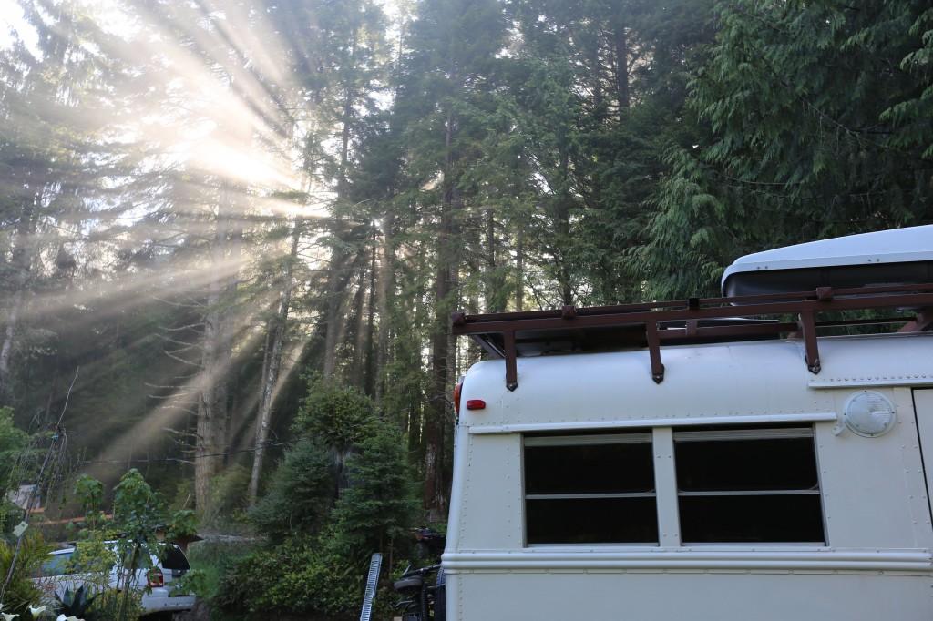 Ocean mist redwood