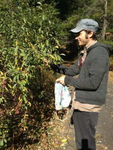 Harvesting autumn olives in Bethany, CT.